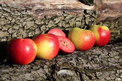 Apfeldiplom / Führungen
